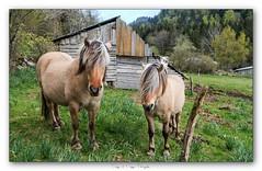 Pb_4300015 (calpha19) Tags: imagesvoyagesphotography adobephotoshoplightroom olympusomdem1mkii zuiko ed1260swd printemps 2019 animalier animal animaux cheval labresse vosges grandest ngc flickrsexplore