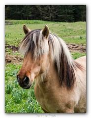 Pb_4300011 (calpha19) Tags: imagesvoyagesphotography adobephotoshoplightroom olympusomdem1mkii zuiko ed1260swd printemps 2019 animalier animal animaux cheval labresse vosges grandest ngc flickrsexplore