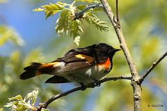 American Red Start (William  Dalton) Tags: americanredstart bird birds warbler