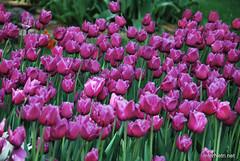 Київ, Співоче поле, тюльпани Травень 2019 InterNetri Ukraine 050