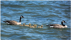 MAY 2019 NGM_1664_8246-1-222 (Nick and Karen Munroe) Tags: canadageese geese goose goslings lake lakeshore lakefront lakeontario lakeside water waterfront jackdarlingpark jackdarling mississauga lakeshoreblvd waterscape seascapes greatlakes karenick23 karenick karenandnickmunroe karenandnick munroe karenmunroe karen nickandkaren nickandkarenmunroe nick nickmunroe munroenick munroedesigns photography munroephotoghrpahy munroedesignsphotography nature landscape brampton bramptonontario ontario ontariocanada outdoors canada d750 nikond750 nikon nikon70200f28 nikon70200 f28 nikonf28 70200 70200f28 colour colours color colors bird birds animal animals waterfowl mother father babygeese