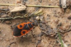 Pyrrhocoris apterus (saracenovero) Tags: pyrrhocorisapterus pyrrhocoridae pentatomomorpha heteroptera hemiptera bugs bugsoflithuania wanzen 2018