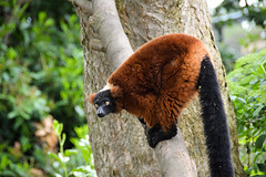 Red Ruffed Lemur (Varecia rubra) (Seventh Heaven Photography) Tags: red ruffed lemur vareciarubra varecia rubra primate animal mammal criticallyendangered chester zoo cheshire england nikond3200