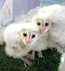 Baby barn owls (billnbenj) Tags: barrow cumbria owl barnowl babybarnowl raptor birdofprey 7weeksold
