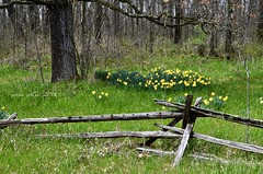 May 18 blooming everywhere (Basildon Kitchens) Tags: princeedwardcounty spring newgrowth daffodils forest woodland fence railfence