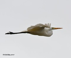 May 19, 2019 - A great egret flies over on a cloudy day. (Ed Dalton)