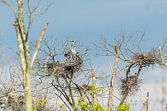 Great Blue Heron Family (jwfuqua-photography) Tags: herons greatblueheron pennsylvania nature birds buckscounty jerrywfuqua waterfowl wadingbirds jwfuquaphotography