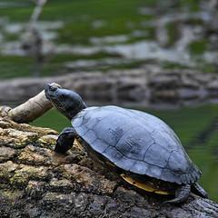 Turtle (Steve Liffmann) Tags: turtle