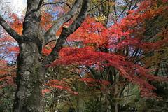 Autumn colour (crafty1tutu (Ann)) Tags: autumn leaves colour red trees crafty1tutu canon1dx canon28300lserieslens anncameron