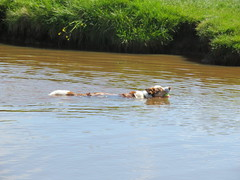 Swimming Bailey (deltrems) Tags: swimming bailey pet dog welsh border collie water pond lake grass