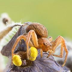 Stacking focus with 30 photos (ÖnerbÜyÜkyildiz) Tags: nature macro 105mm nikkor d7200 nikon focusstack spider stack focus