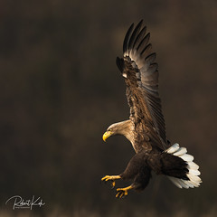 Coming in! (Jambo53 ()) Tags: nikond800 nikon500mmf4 whitetailedeagle zeearend crobertkok roofvogel raptor birdofprey