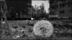 Одуван (taishiro1) Tags: spring dandelion monochrome huawei p20pro blackandwhite blackwhite photoonhuawei たんぽぽ 春 весна мобильноефото монохром mobilography чернобелое одуванчик