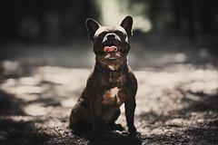 Hello again (Dionysos_Lichtenhauos) Tags: sony sonyflickraward sheldon sonya7iii sonya7m3 sonysel85f14gm sel85f14gm sonygmaster dog frenchbulldog bulldog bokeh sun