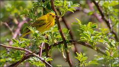 (c)WMH_2019_05_19_5727 Yellow Warbler (WesleyHowie) Tags: kentville wildlife birds yellowwarbler canada location warbler minersmarsh novascotia