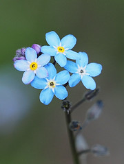 Niezapominajki forgetmenot Vergissmeinnicht (arjuna_zbycho) Tags: niezapominajki forgetmenot vergissmeinnicht незабудка flower flowers kwiaty blumen pomněnka pensezàmoi nemoubliezpas nomeolvides raublattgewächs gedenkemein myosotissylvatica blau spring wiosna frühling niezabudka macro forgetmehabenichtse mausohr myosotis mysieuszko