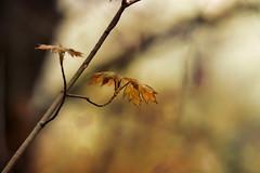 Le printemps à nos portes... (chana4 ( Nancy Charlton)) Tags: superposition bokeh branche couleur teinte canon feuille printemps