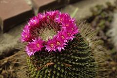 Corona (Txemari Roncero) Tags: cactus flores corona planta mammillaria spinossissima primerplano rosa pink txemarironcero nikon nikond7000