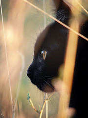 C a p t i v a t i n g L o o k (Photeliart) Tags: sonydsch1 sonycybershot shot camera capture photo picture photographie animal cat blackcat eyes regard campaign fields sun light bokeh
