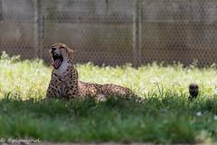 20190519-0014 (M.Pigmyowl) Tags: cheetah チーター 多摩動物公園