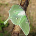 Luna moth (Actias luna) - full view