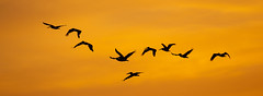 Brown Pelicans at Sunset (ToriAndrewsPhotography) Tags: tarcolesriversunset brown pelican costa rica photography andrews tori roost silhouette