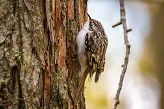 Trädkrypare_IMG_2927-2 Certhia familiaris (anders arman) Tags: trädkrypare certhiafamiliaris eurasiantreecreeper västerstadsalmlund västerstad birs fågel öland mörbylånga wildlife natur nature sweden