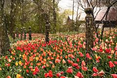 A Damper on Spring (Goromo) Tags: tulips spring snow wet sloppy fence genevaillinois flowers snowstorm flowersonfargo