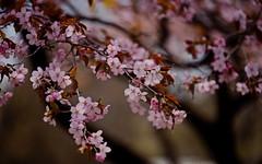 flower 1733 (kaifudo) Tags: sapporo hokkaido japan botanicalgarden flower sakura cherryblossom 札幌 北海道 北大植物園 桜 サクラ 春 nikon d810 sigmaapomacro150mmf28 sigma 150mm