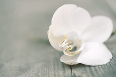 Orchid (Tashata) Tags: macro flower nature outdoor flora botanical beautiful outdoors closeup white texture wooden mood sonyilce7rm2 fe90mmf28macrogoss style