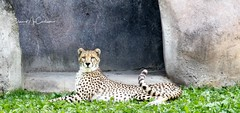 IMG_8299 (eileen.mccallum) Tags: zoo cheetah alert animal cat spots