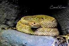 IMG_8318 (eileen.mccallum) Tags: zoo snake reptile rattlesnake