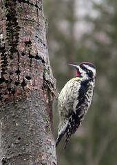 Yellow Bellied Sapsucker - a first for me! (Meryl Raddatz) Tags: bird woodpecker yellowbelliedsapsucker nature naturephotography wildlife canada