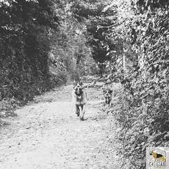 German Sherherd (Allevamento Casa Caligiani) Tags: schäferhund germanshepherd pastoretedesco gsd dog cane