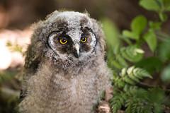 Long-eared owl - Waldohreule (rengawfalo) Tags: longearedowl asiootus waldohreule eule owl vogel vögel bird birder birding natur outdoor wildlife nature tree forest hawk animal ästling juvenil