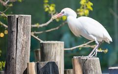 Cattle egret eating. (Azariel01) Tags: 2019 antwerpen belgique belgium zoo bird oiseau hérongardeboeufs cattleegret bubulcusibis eating mange eat chenille caterpillar