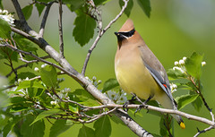 Cedar Waxwing (JDA-Wildlife) Tags: birds nikon nikond7100 tamronsp150600mmf563divc jdawildlife johnny portrait closeup eyecontact waxwings waxwingcedar cedarwaxwing wow whatbirdbestofday gorgeous