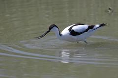 7D2_5068_DPP_Comp2048 (SF_HDV) Tags: canon7dmarkii canon7dmark2 7dmarkii 7dmark2 7dm2 spain lagoon laguna bird fuentedepiedra lagunafuentedepiedra avocet piedavocet