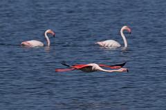 7D2_4648_DPP_Comp2048 (SF_HDV) Tags: canon7dmarkii canon7dmark2 7dmarkii 7dmark2 7dm2 spain lagoon laguna bird fuentedepiedra lagunafuentedepiedra birdsinflight flamingo greaterflamingo