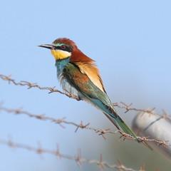 7D2_4348_Bee-Eater_DPP (SF_HDV) Tags: canon7dmarkii canon7dmark2 7dmarkii 7dmark2 7dm2 spain lagoon laguna bird fuentedepiedra lagunafuentedepiedra beeeater europeanbeeeater fence barbedwirefence
