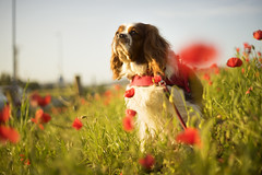Countryside// Campo (Mireia B. L.) Tags: dog cavalierkingcharlesspaniel poppies amapolas countryside perro cavalierkingcharles helios58mmf2 vintagelens helios58mm