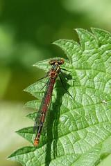 Large red damselfly (hedgehoggarden1) Tags: largereddamselfly odonata insect wildlife nature damselfly sonycybershot leaf holtcountrypark norfolk eastanglia uk sony creature