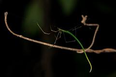 Ariamnes sp, (weishou) Tags: araneae combfootedspider macro pulauubin spider theridiidae