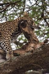 Say Cheese (iamfisheye) Tags: 300mm vr nikon f4 leopard asilia d500 namiriplains tanzania2018 afs tc14iii pf serengetinationalpark safari