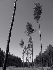 Deforestation. A sad sight. (ALEKSANDR RYBAK) Tags: вырубка лес деревья сосны экология проблема стволы пни монохромный cutting down forest trees pine ecology problem trunks stumps monochrome