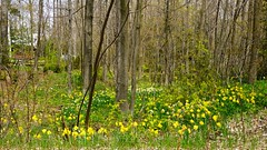 The 'Daffodell' in sunnier weather (Craig James White) Tags: canada ontario brucecounty saugeenshores woods spring flowers daffodils narcissus trilliums