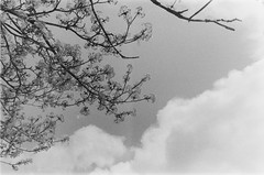 Montréal-Ilford Photo Walk III (Sarah-Kim Bisson) Tags: montréal montreal bw film tree arbre ciel sky