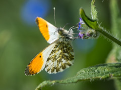 Orange-tip (Maria-H) Tags: orangetip butterfly anthochariscardamines glossop derbyshire highpeak uk olympus omdem1markii panasonic 100400 male