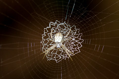 IMG_5136-tr (JLBenazra) Tags: bali201905 bali araignées spider