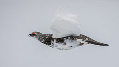 Vorbeiflug (wsprecher) Tags: alpen alpenschneehuhn rauhfusshühner wildlife lagopus muta